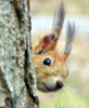 squirrel_puha