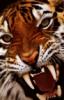 тигр_злой