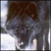 Nox, Wolf