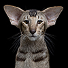 Лопоухий кот