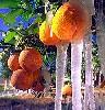 orangecicle userpic