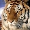 tigersmind userpic