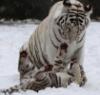 тигрица мама