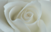 white rose resistance