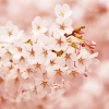 icecoldrain: Stock - Flowers 2