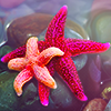 doubel starfish