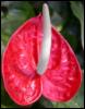 Anonymuncule.: anthurium erect