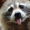 raccoon_anna userpic