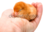 Спящий цыпленок