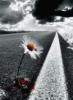 Ромашка на дороге