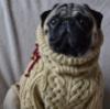 Мопс в свитере