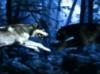 jaguar, wolf