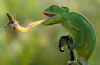chameleon_r