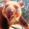 leesa_perrie: Tree Kangaroo