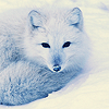 Arctic fox by vucubcaquix