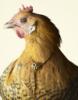Кокетливая курица