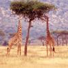 Avox in Arcadia: Giraffes
