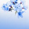 userpic, blue, sakura