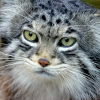 leesa_perrie: Pallas cat