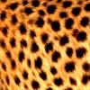 leesa_perrie: Cheetah Fur
