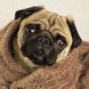 Мопс в одеяле