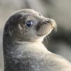 seal-gioconda