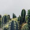 cactus, desert