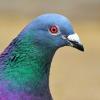 pigeon, me