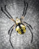 Zig Zag spider, Garden Spider