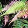pink fern
