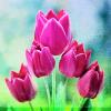 TulipsLessaPerirre
