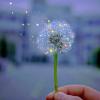 Sparkle dandelion