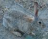 Field Rabbit