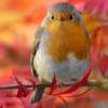 Birds: Robin (Autumn)