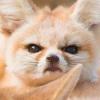 Недовольный лис