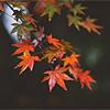 [Stock] Rainy Autumn Leaves