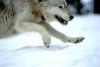 wolfraven80: Wolf Running