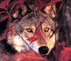 redleaves wolf