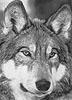 wolfgrel