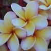 Jodi: frangipani