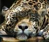 i_jaguar