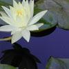 e-liz-a-beth: lily