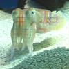 scottlefish