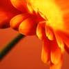Holly: orange flower - littlecatgirl