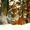_siberian_tiger