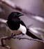 mockingbird userpic