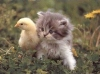 the Chick: chickiecat