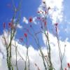 Ocotillo sky