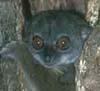 lemurid userpic