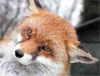 swiftpawfoxie userpic